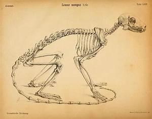 Coyote Skeleton Diagram