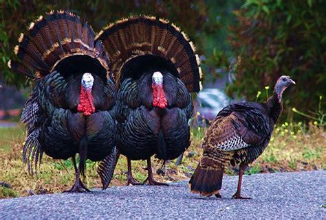 pictures of turkeys wild turkey next door nature