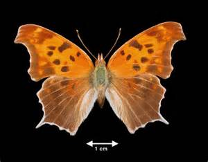 Question Mark Black and Orange Butterfly Identification