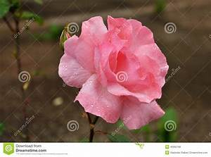 habrumalas: Pink Rose With Water Drops And Stem Images