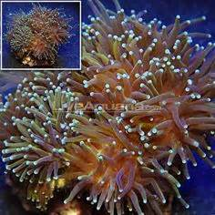 Euphyllia glabrescens Aussie Gold Torch Coral Approx 2