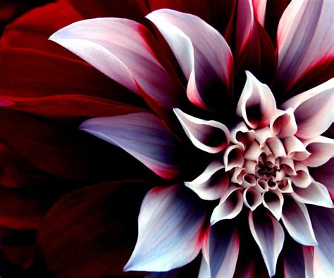 3d Flower Wallpapers by Cool 3d Flower Android Wallpapers 18332 Wallpaper Cool