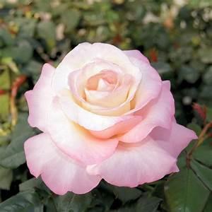 Best Of The Best Hybrid Tea Rose Collection  U2013 Viriflora