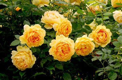 rosa golden celebration ausgold pbr  rose