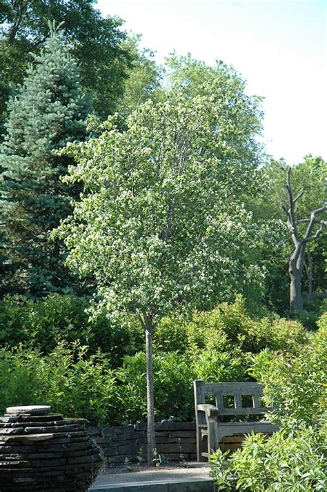 washington hawthorn washington hawthorn crataegus phaenopyrum in columbus dublin delaware grove city gahanna
