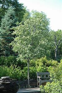Washington Hawthorn  Crataegus Phaenopyrum  In Denver Centennial Littleton Aurora Parker