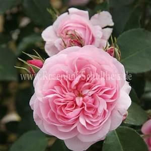 Rosen Düngen Im Frühjahr : roseninsel rosen online kaufen im rosenhof schultheis rosen online kaufen im rosenhof schultheis ~ Orissabook.com Haus und Dekorationen
