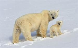 Researchers plan to use drones to help Polar Bears - That ...