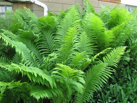 what is a fern plant 3 6 foot tall ostrich fern mammoth shade plant large perennial bareroot rhizome ebay