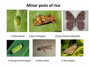 Insect Pest Of Rice