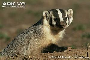 American badger videos, photos and facts - Taxidea taxus ...