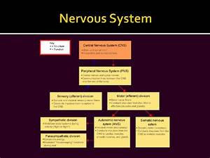 Diseases of central nervous system ppt video online download powerpoint template nervous system gallery powerpoint toneelgroepblik Images