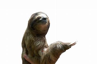 Sloth Transparent Clipart Paresse Roblox Pokediger1 Fond