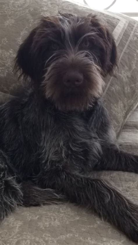 Wirehaired Pointing Griffon Shed by 2438 Best Korthals Griffon Images On