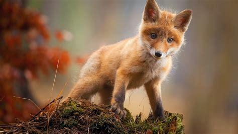 Hd Wallpapers 1366x768 Animals - 1366x768 fox cub baby animal hd 1366x768 resolution