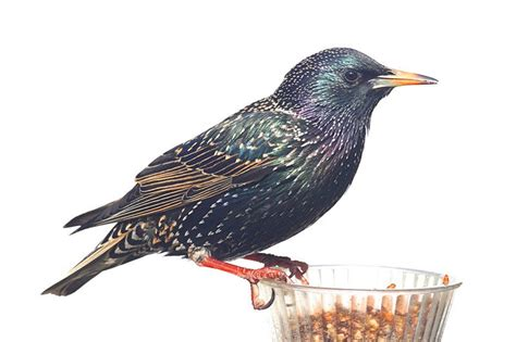 European Starlings 5 Interesting Facts And Measures To