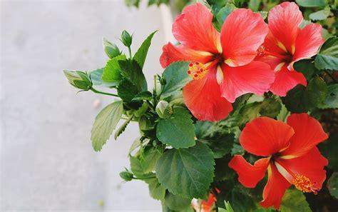 perennials that bloom all summer never ending summer which perennials bloom all summer long rozanne and friends