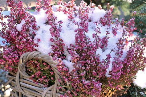 Winter Balkonpflanzen by Balkonpflanzen Im Winter 187 Diese Pflanzen 252 Berleben Die K 228 Lte