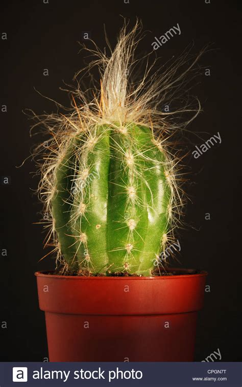 cactus pot stock  cactus pot stock images alamy