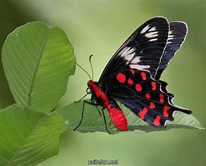 Crimson Rose - Most Beautiful Butterfly - XciteFun.net