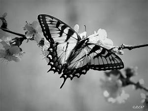 Black and White Butterfly by 305Guy on DeviantArt