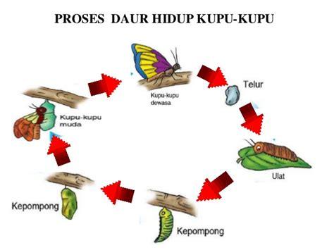 batik kupu kupu proses daur hidup kupu kupu
