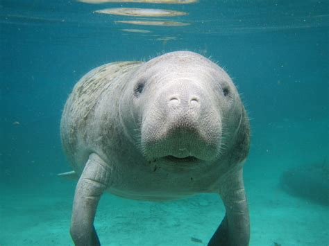 Manatee Key West Precious Animals Under The Sea Pinterest