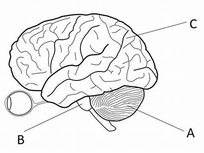 Brain Gcse Biology Grade Worksheets Eye Teaching