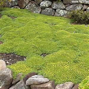 Couvre Sol Vivace : azorella trifurcata azorella coussin des andes mon eden ~ Premium-room.com Idées de Décoration