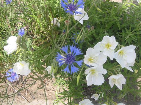 Legendele florilor: Floare albastra, floare alba