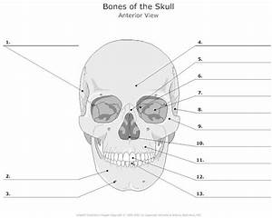 Anatomy Worksheets For College Students