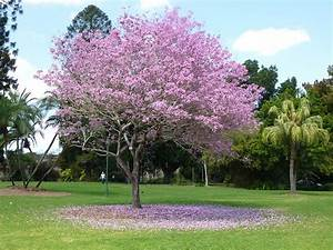 Zwergflieder Auf Stamm : cuban pink trumpet tree tabebuia pallida landscaping ~ Lizthompson.info Haus und Dekorationen