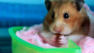 The Cutest Hamster In The World - YouTube
