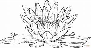 Water Lily Line Drawing At Getdrawings