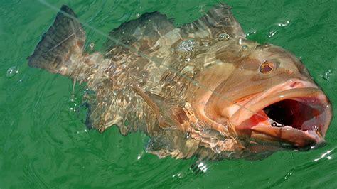 grouper rig gulf mexico regulators fishing