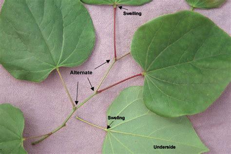 cercis canadensis leaf eastern redbud oregon state univ landscape plants