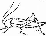 Cricket Insect Coloring Drawing Locust Printable Getcoloringpages Sheet Getdrawings Clipartmag Clipart sketch template