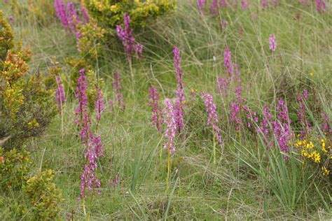 Orchis mascula - Wikiwand
