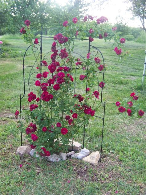 42 Best Images About Rose Trellis On Pinterest