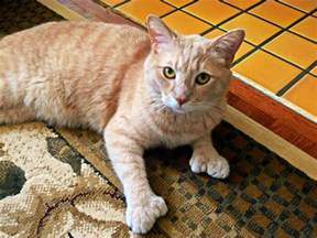 polydactyl cats polydactyl cats the felines with toes