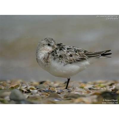 Sanderling - Calidris alba ref:rori124581