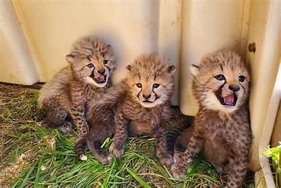 Cheetah Cubs Adorable