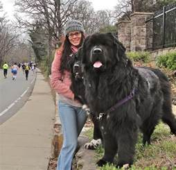 best 25 newfoundland dogs ideas on big breeds big dogs and gentle dogs