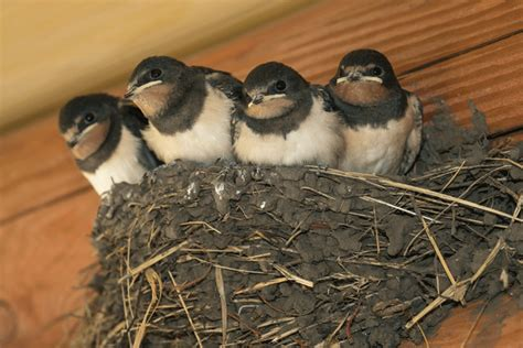 how to get rid of barn swallows on porch how to get rid of barn swallows pestkilled