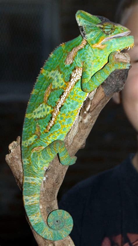 chameleon pet file veiled chameleon pet chicago 10 2007 jpg