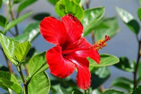 pengertian tumbuhan dikotil ciri jenis contoh