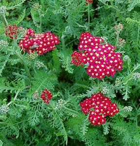 Paprika Gute Nachbarn : achillea millefolium hybriden 39 paprika 39 schafgarbe ~ Frokenaadalensverden.com Haus und Dekorationen