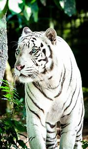 White Tiger 4K Wallpapers   HD Wallpapers   ID #30612