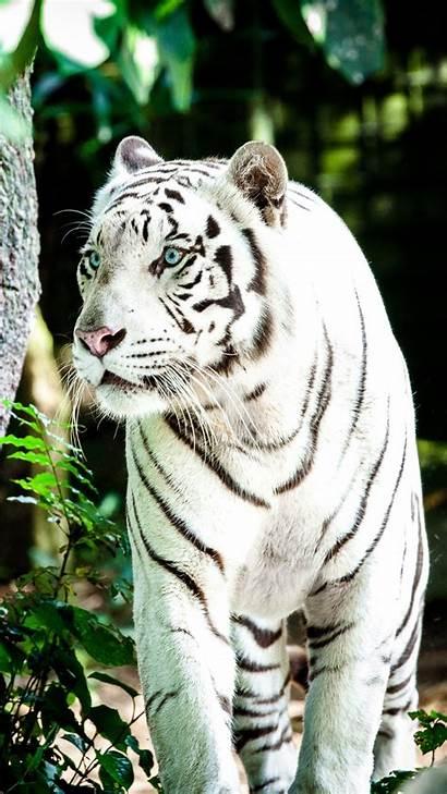 Tiger 4k Wallpapers Desktop Snow Phone Siberian