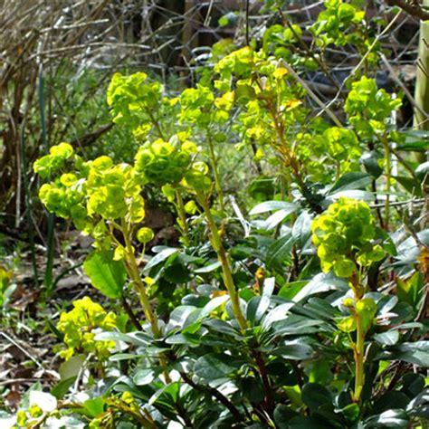 euphorbia ground cover euphorbia amygdaloides var robbiae dorset perennials